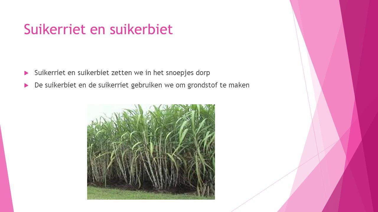 Suikerriet en suikerbiet