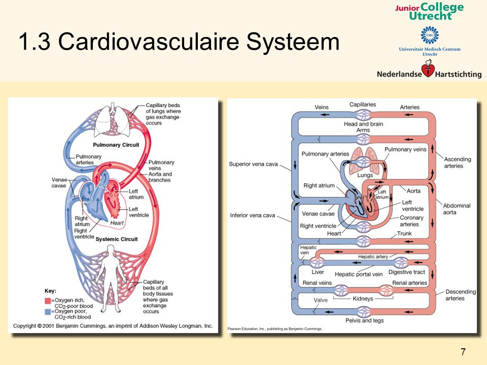 1.3 Cardiovasculaire Systeem