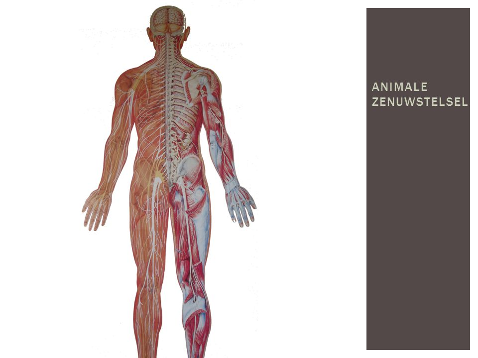 Animale zenuwstelsel