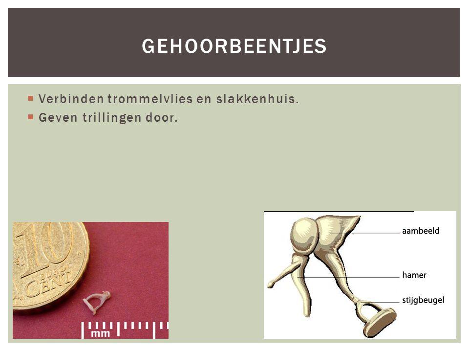 gehoorbeentjes Verbinden trommelvlies en slakkenhuis.