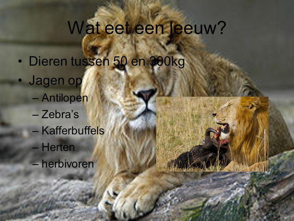 Wat eet een leeuw Dieren tussen 50 en 300kg Jagen op Antilopen