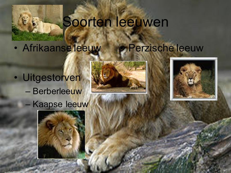 Soorten leeuwen Afrikaanse leeuw Uitgestorven Perzische leeuw