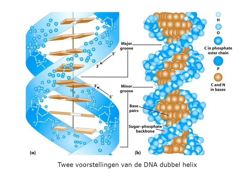 Twee voorstellingen van de DNA dubbel helix
