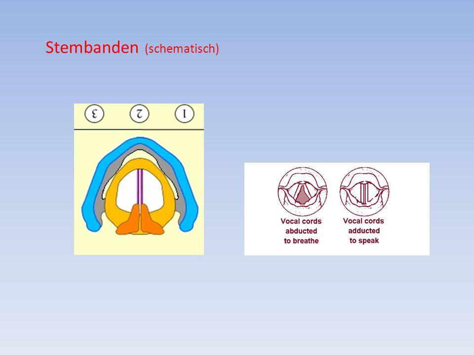 Stembanden (schematisch)