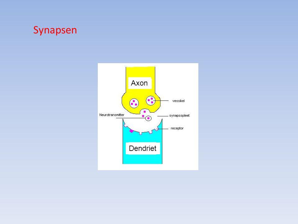 Synapsen Axon Dendriet