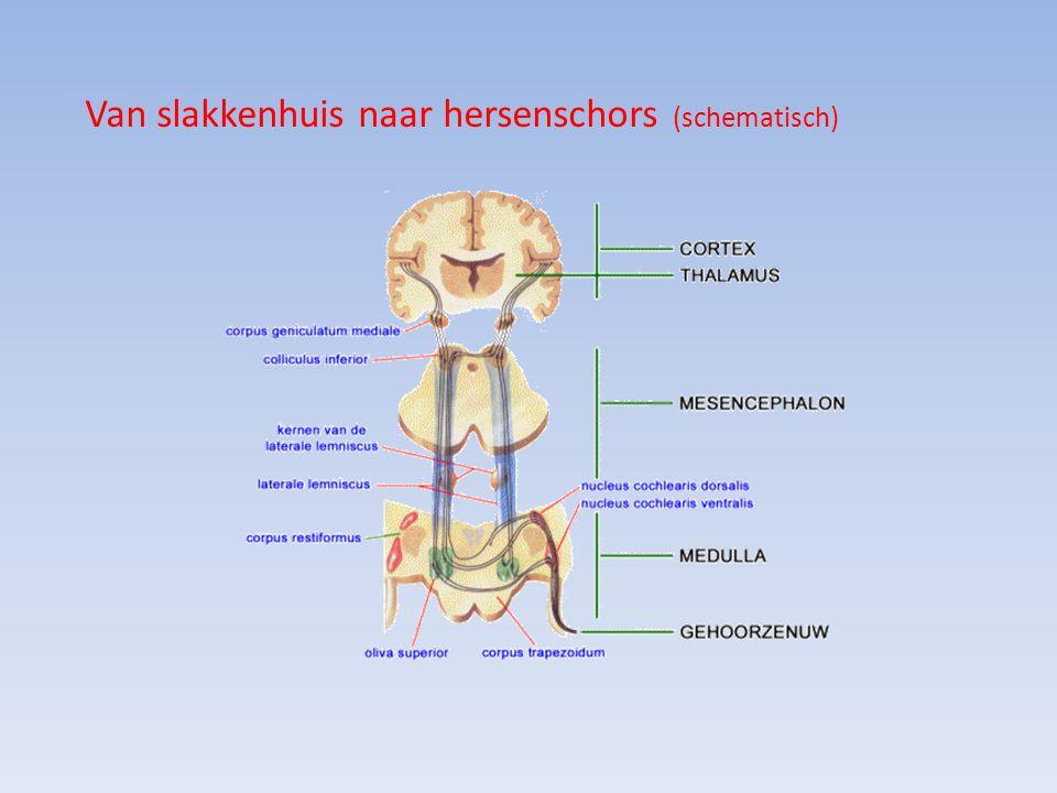 Van slakkenhuis naar hersenschors (schematisch)