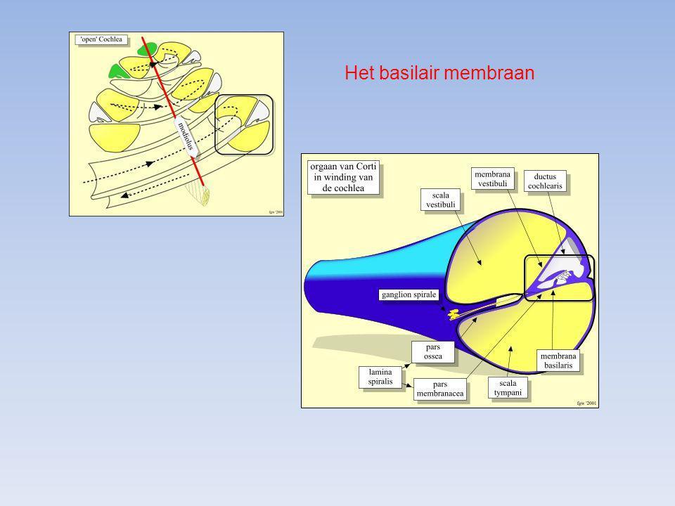 Het basilair membraan
