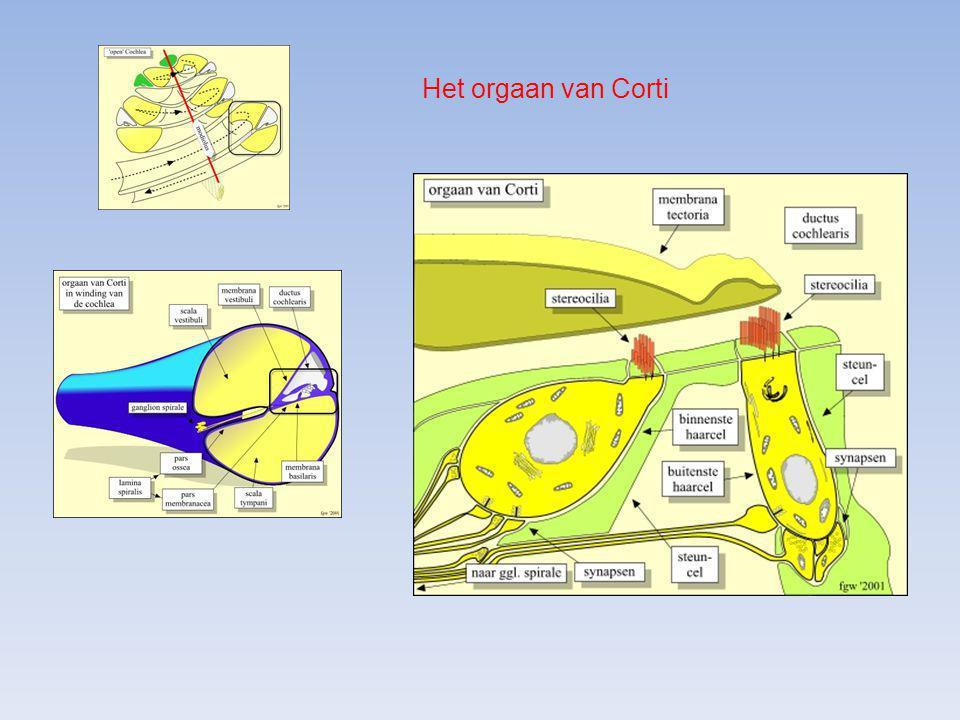 Het orgaan van Corti