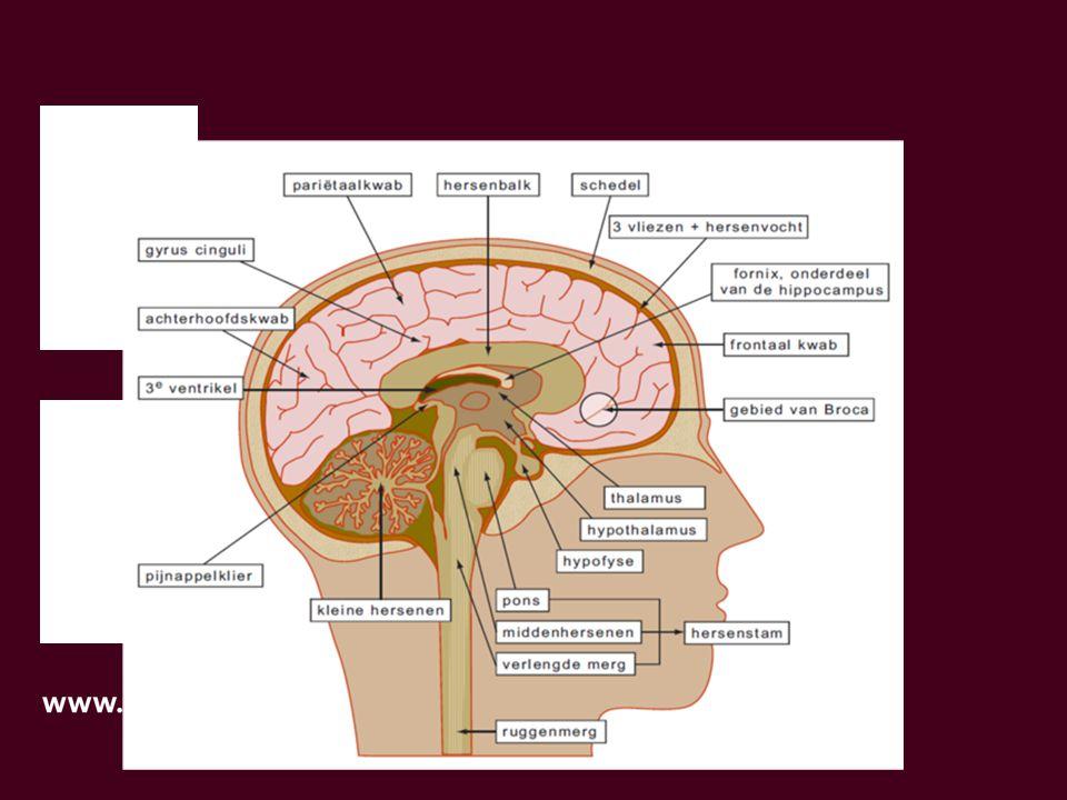 erkt ons brein Hoe werkt ons brein