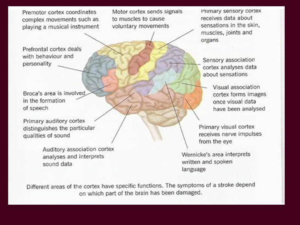 Doorsnede van de hersenen
