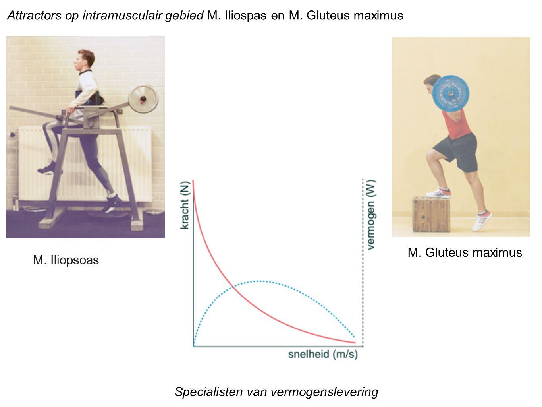 Attractors op intramusculair gebied M. Iliospas en M. Gluteus maximus