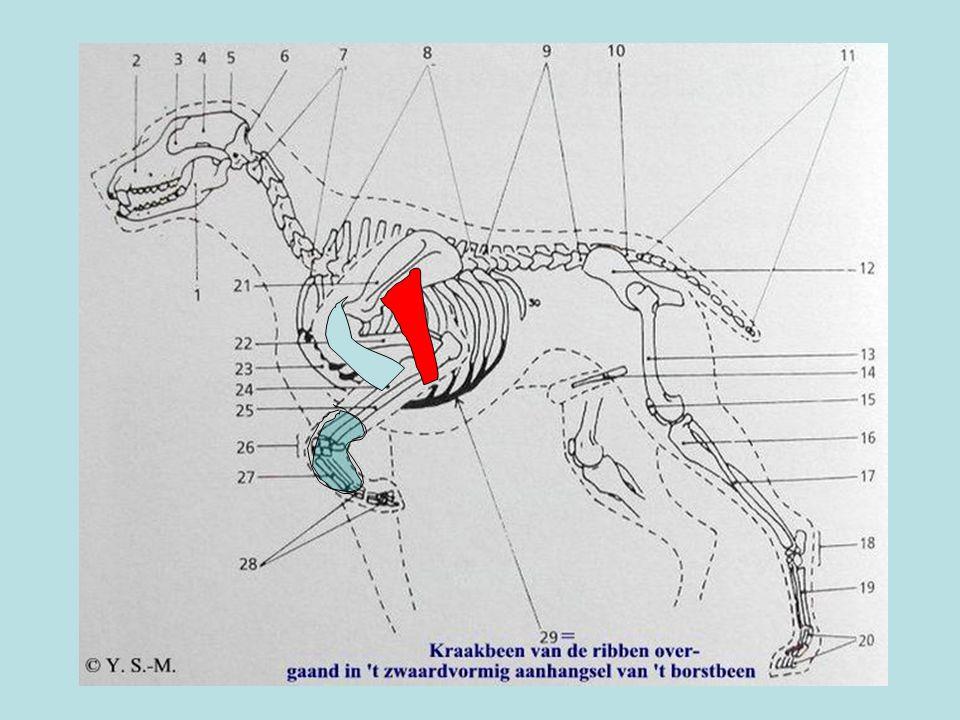 Blauw= m. biceps brachi Rood= m. deltoideus Groen= spieren in onderbeen