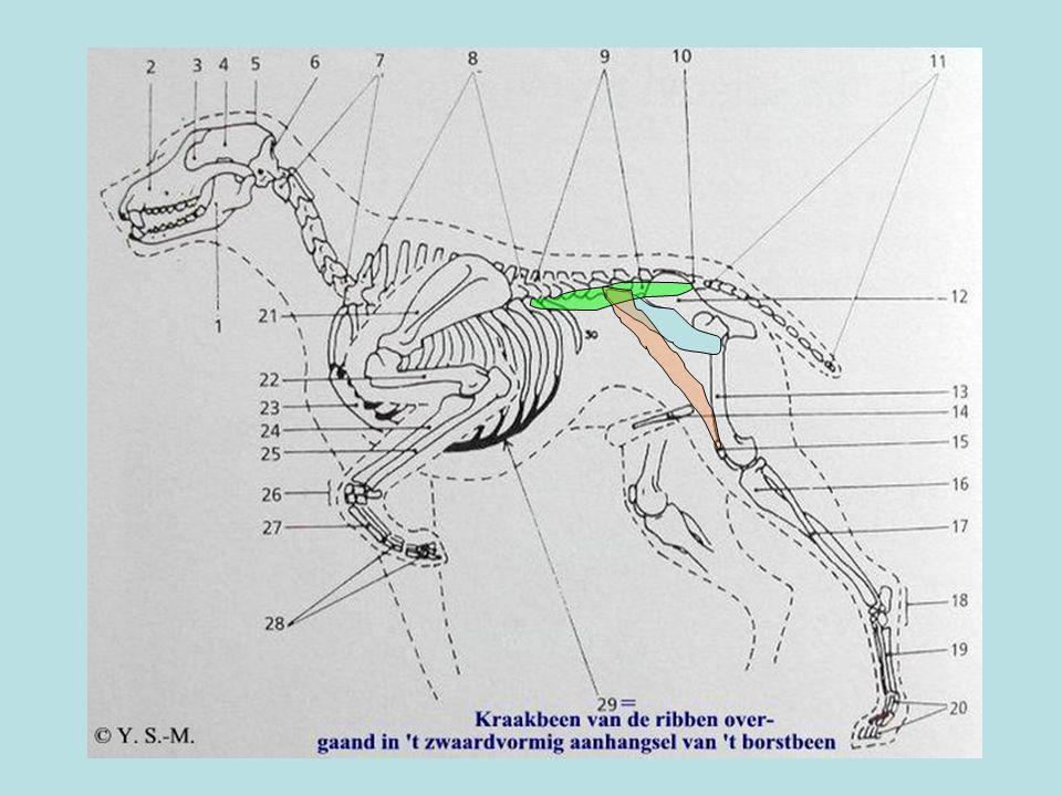 BLAUW: psoas minor Groen: quadratus lumborum Rood: m. ilicus