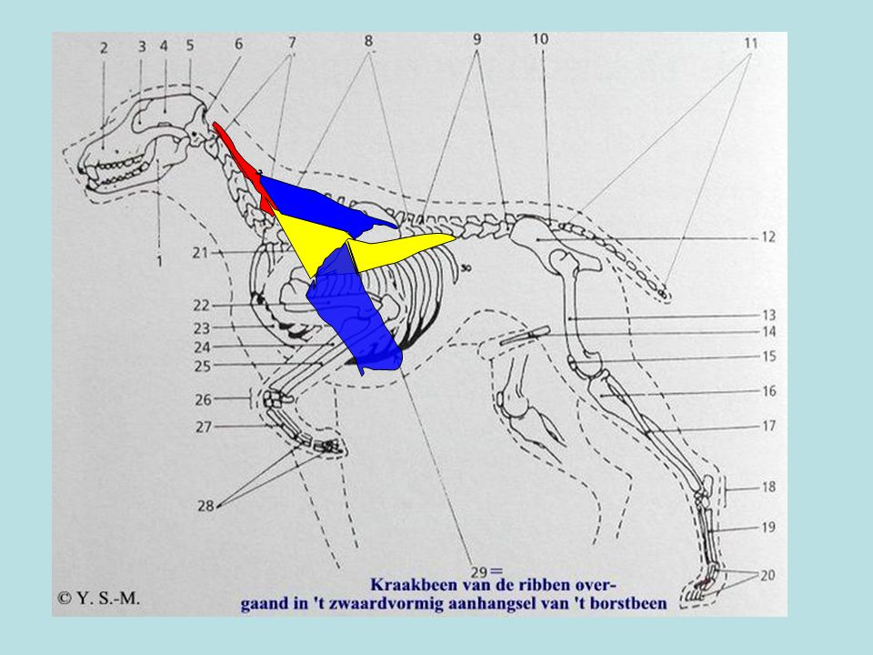 GEEL= M. TRAPEZIUS BLAUW = M. SERRATUS (VENTRALIS)