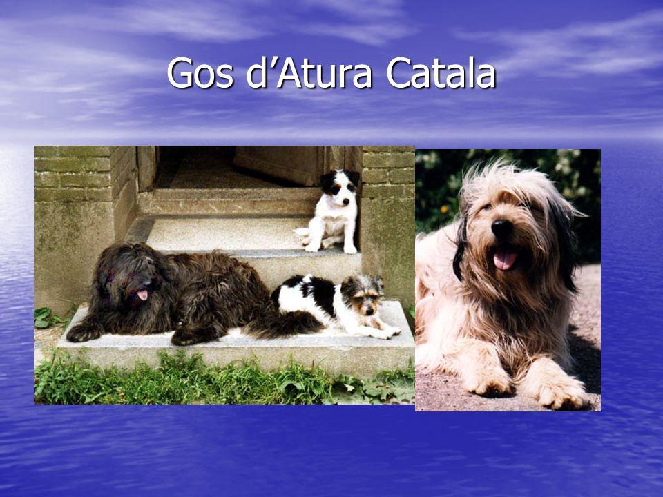 Gos d'Atura Catala