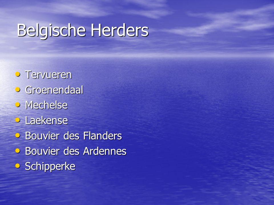 Belgische Herders Tervueren Groenendaal Mechelse Laekense