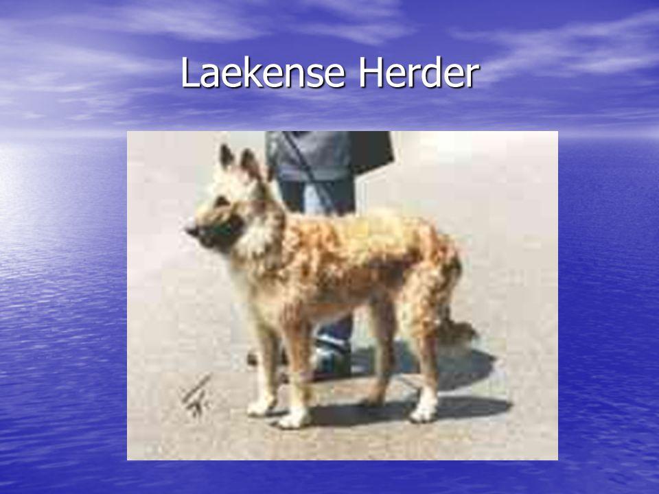 Laekense Herder