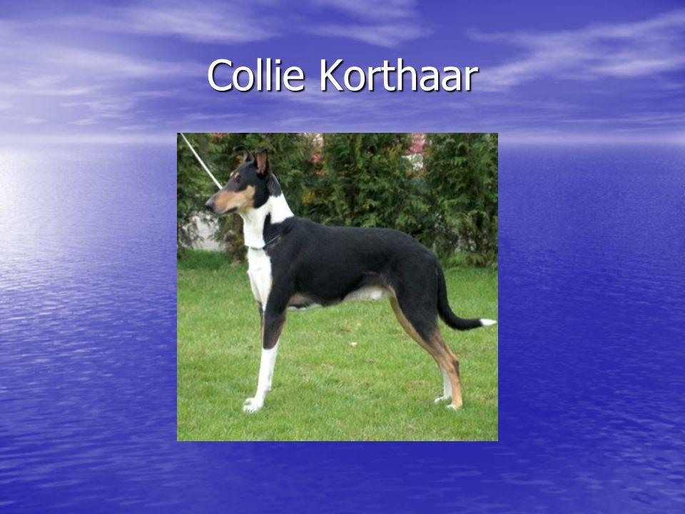 Collie Korthaar