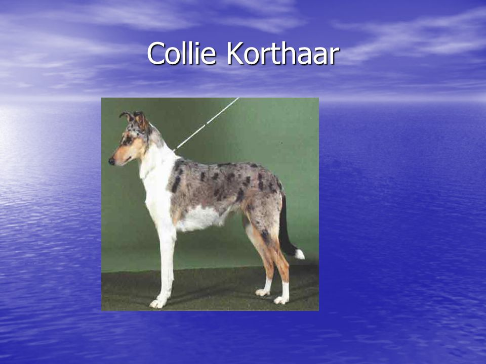 Collie Korthaar