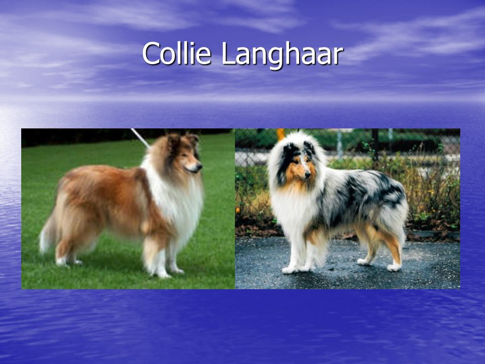 Collie Langhaar