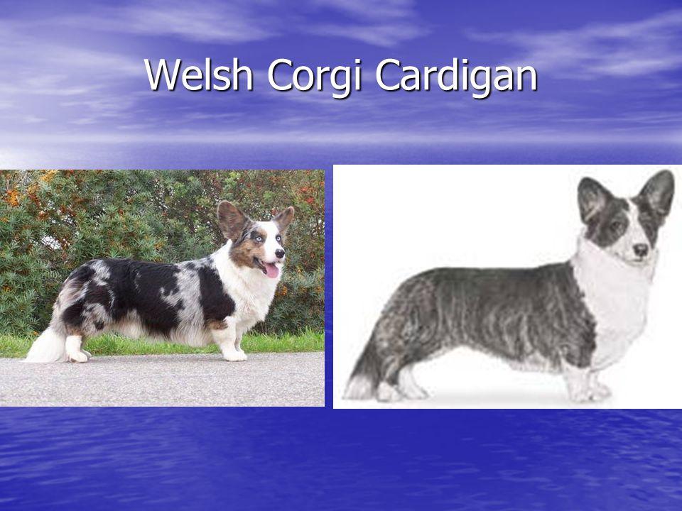 Welsh Corgi Cardigan