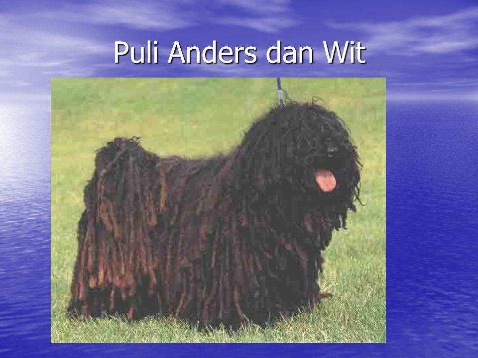 Puli Anders dan Wit