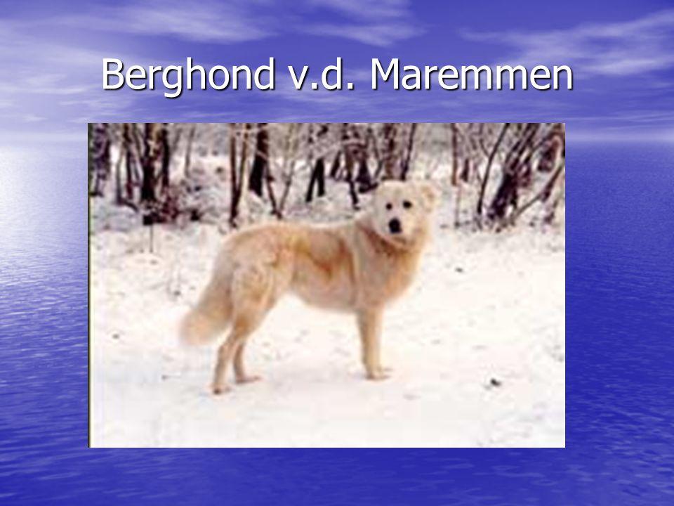 Berghond v.d. Maremmen