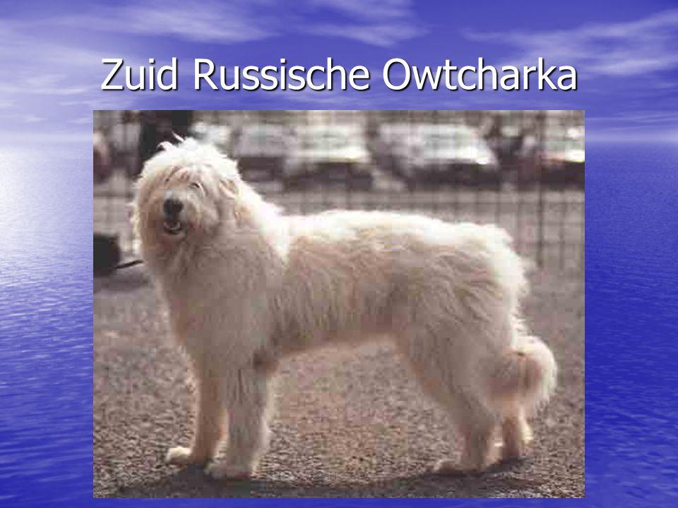 Zuid Russische Owtcharka