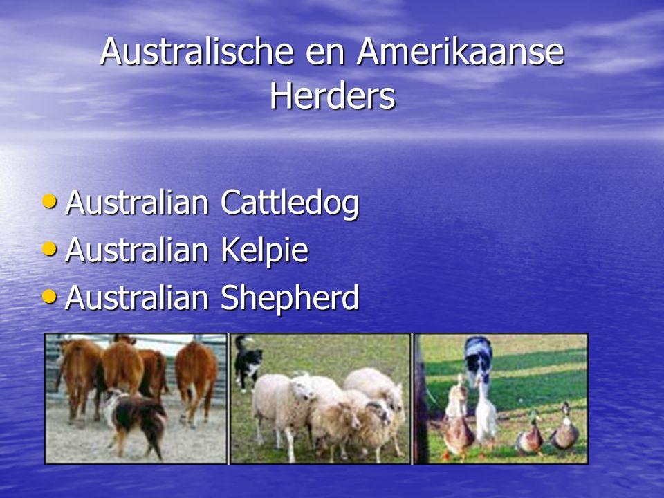 Australische en Amerikaanse Herders