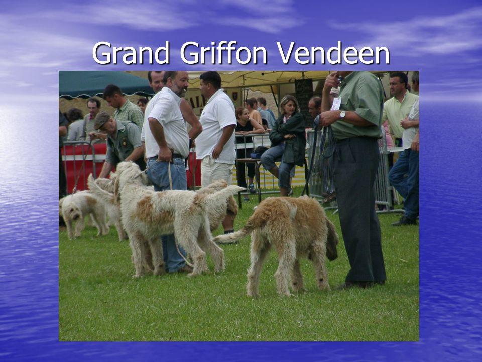 Grand Griffon Vendeen