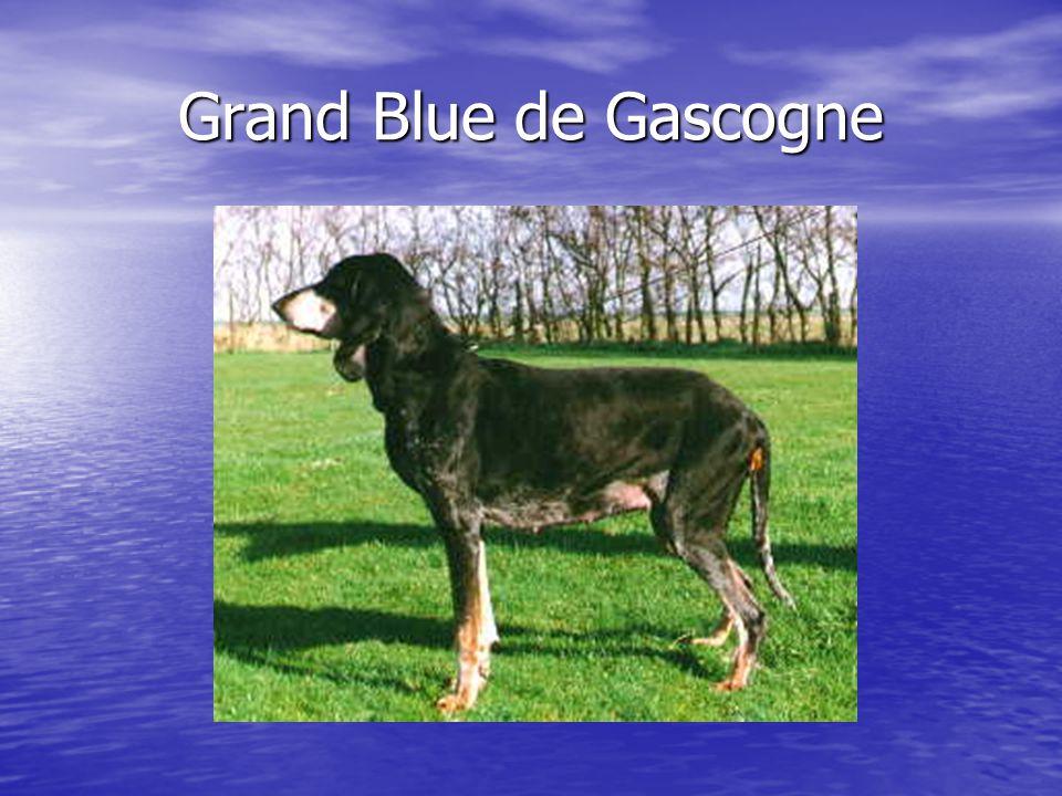 Grand Blue de Gascogne