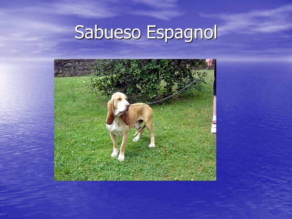 Sabueso Espagnol