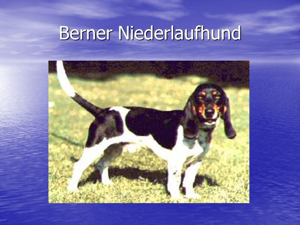 Berner Niederlaufhund