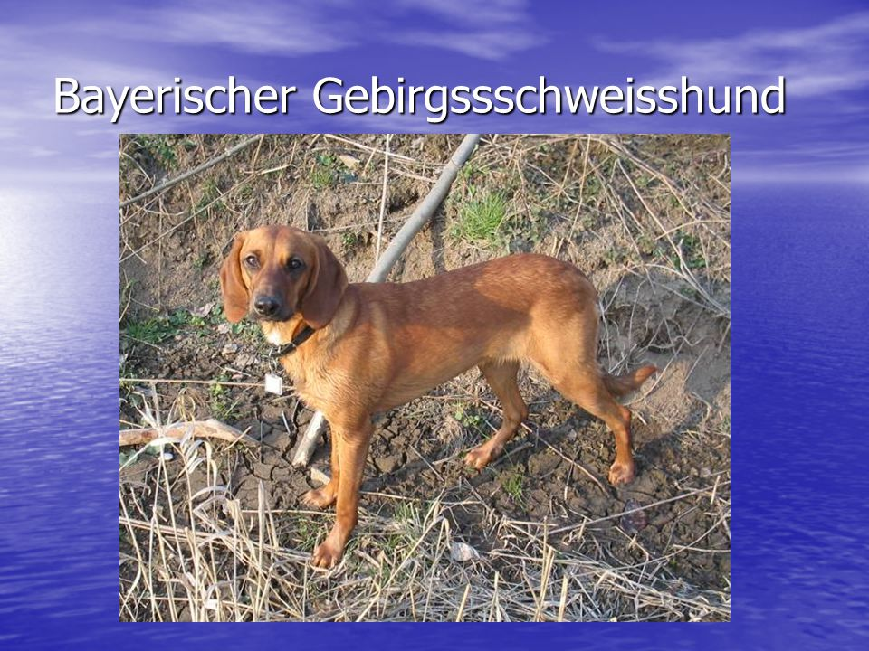 Bayerischer Gebirgssschweisshund