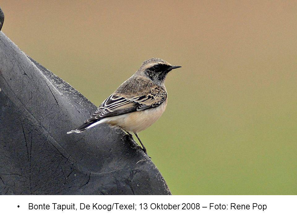 Bonte Tapuit, De Koog/Texel; 13 Oktober 2008 – Foto: Rene Pop