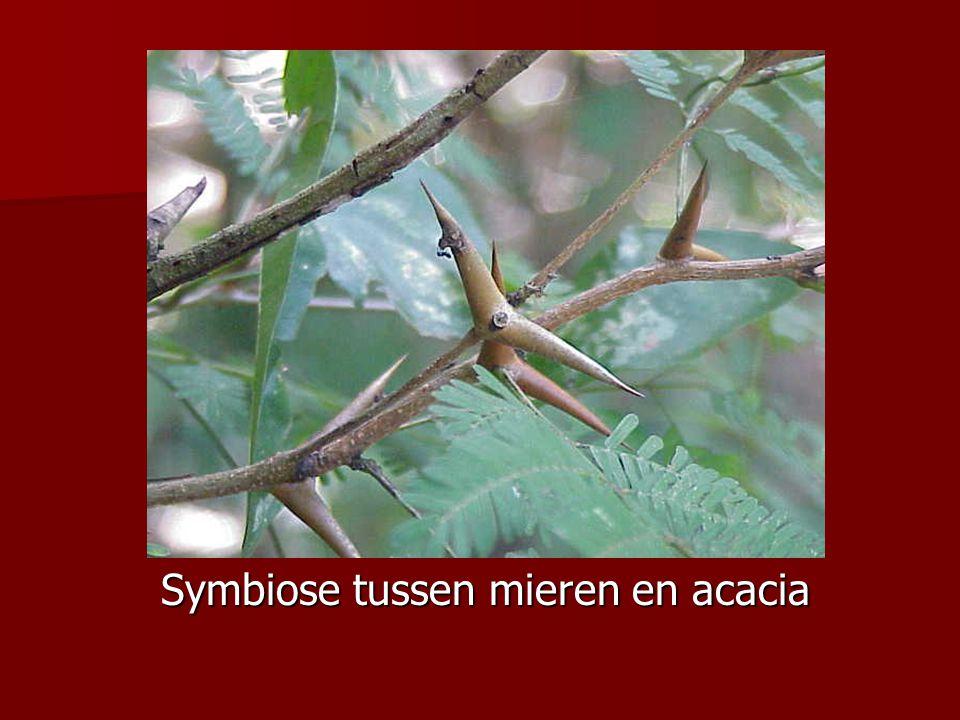 Symbiose tussen mieren en acacia