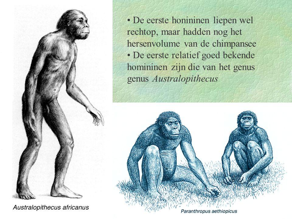 • De eerste honininen liepen wel rechtop, maar hadden nog het hersenvolume van de chimpansee