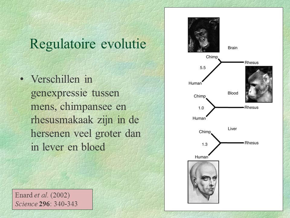 Regulatoire evolutie Verschillen in genexpressie tussen mens, chimpansee en rhesusmakaak zijn in de hersenen veel groter dan in lever en bloed.