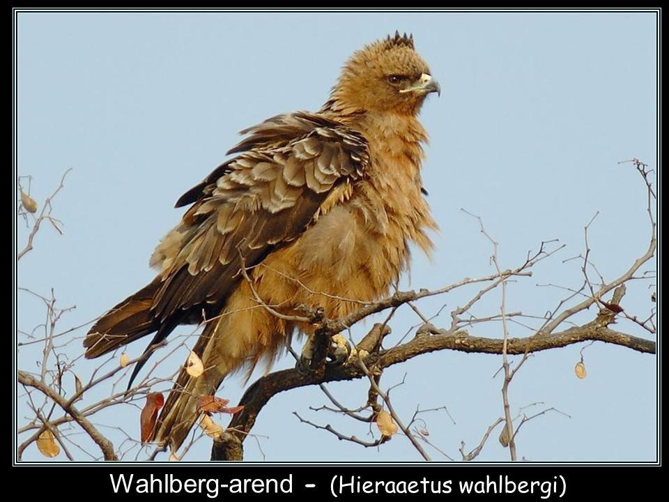 Wahlberg-arend - (Hieraaetus wahlbergi)