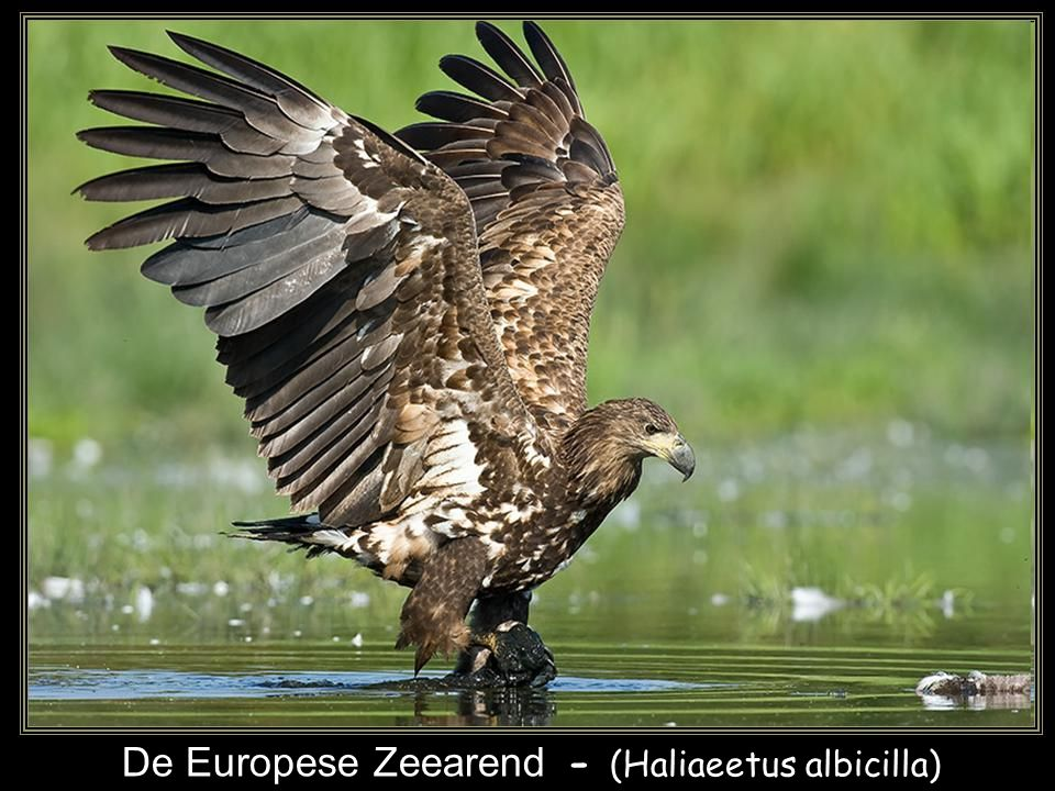 De Europese Zeearend - (Haliaeetus albicilla)