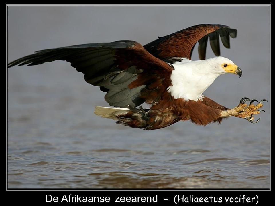 De Afrikaanse zeearend - (Haliaeetus vocifer)
