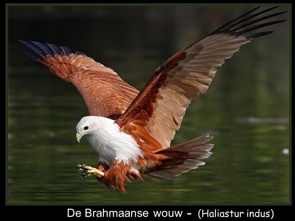 De Brahmaanse wouw - (Haliastur indus)