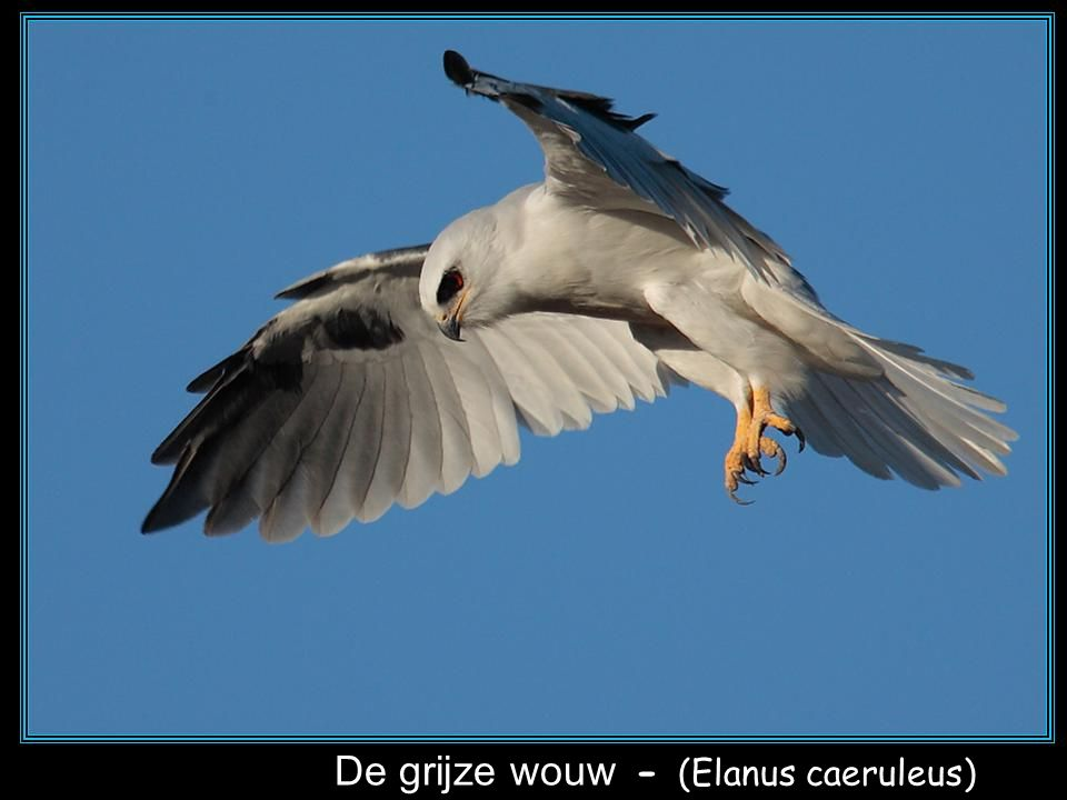 De grijze wouw - (Elanus caeruleus)