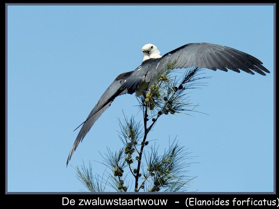 De zwaluwstaartwouw - (Elanoides forficatus)