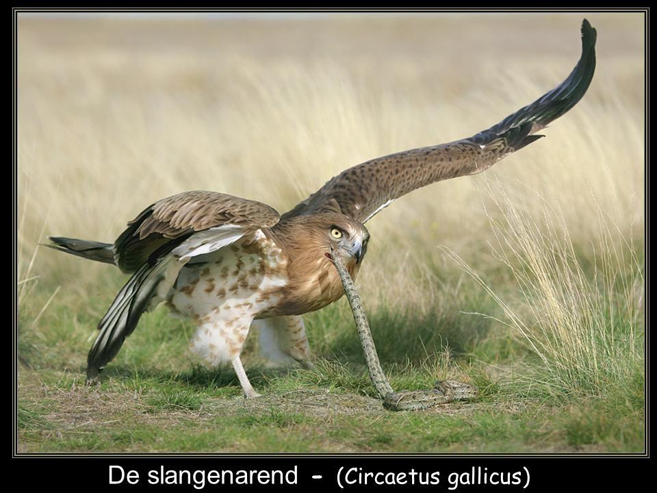 De slangenarend - (Circaetus gallicus)