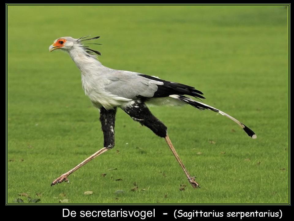 De secretarisvogel - (Sagittarius serpentarius)