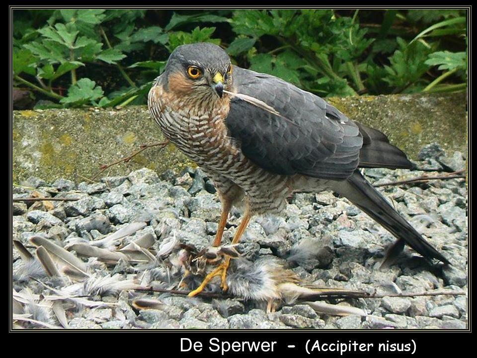 De Sperwer - (Accipiter nisus)