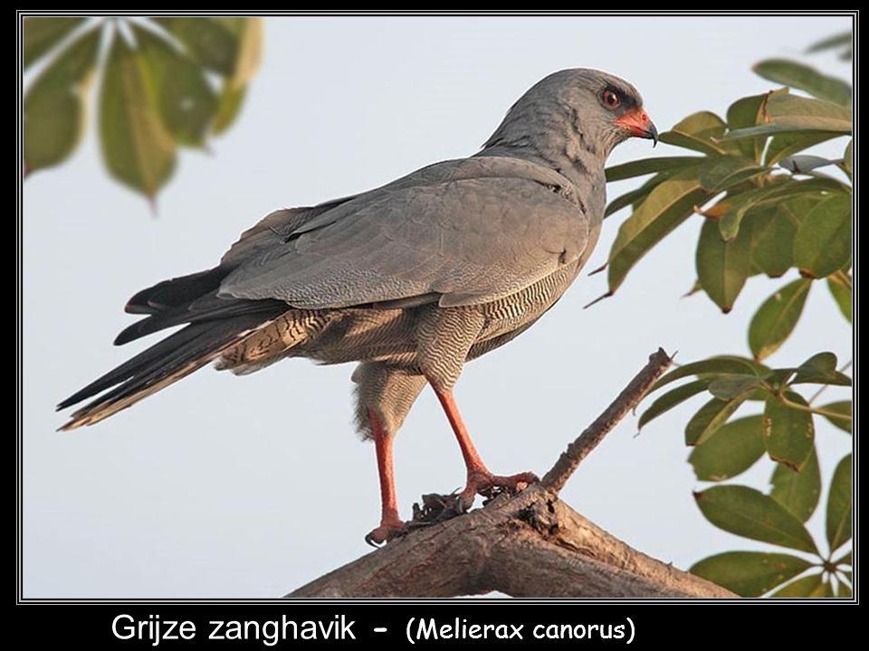Grijze zanghavik - (Melierax canorus)
