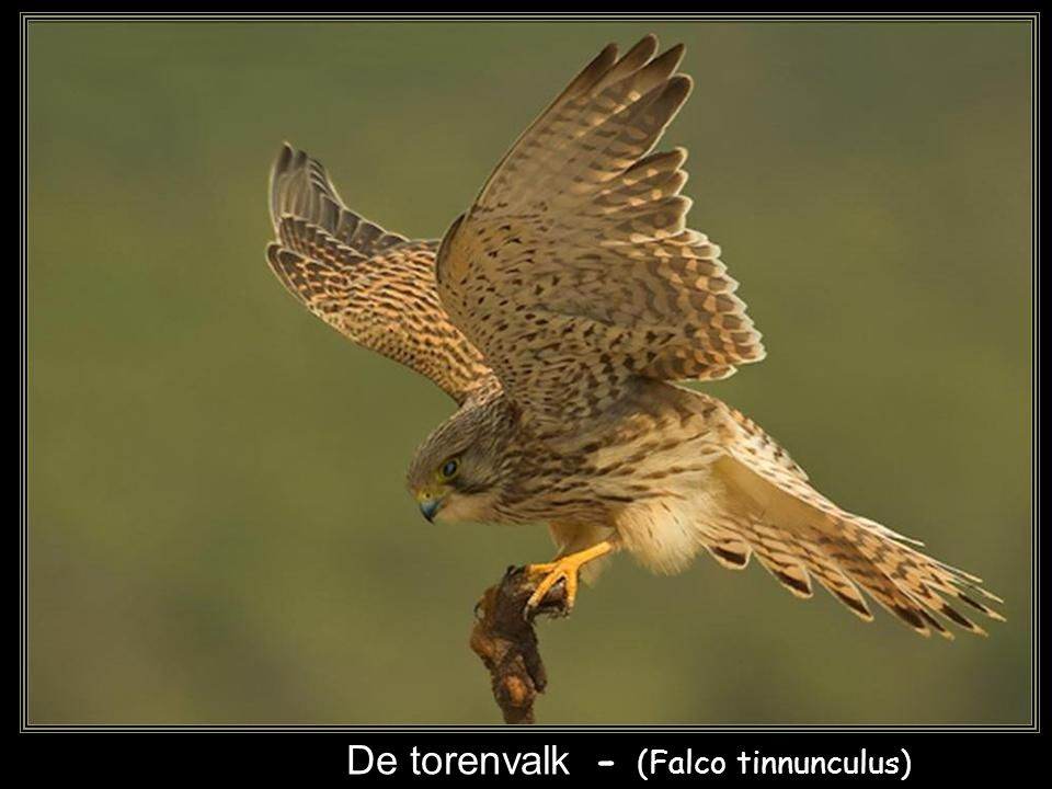 De torenvalk - (Falco tinnunculus)