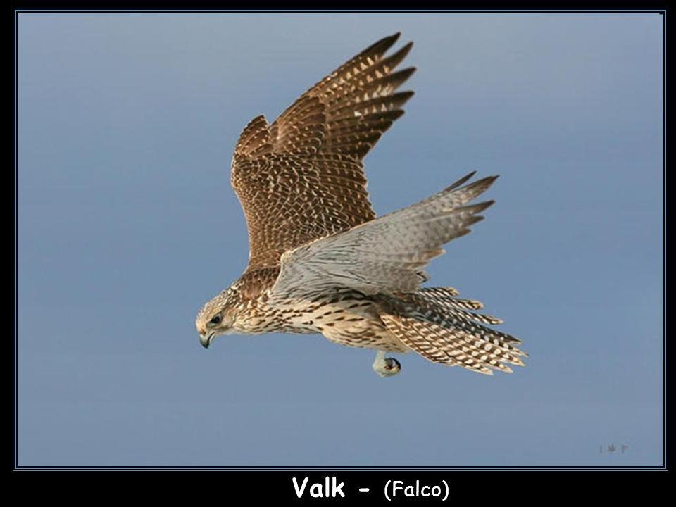sokół Valk - (Falco)
